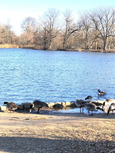 Ducks and geese at one of the ponds in Prospect Park