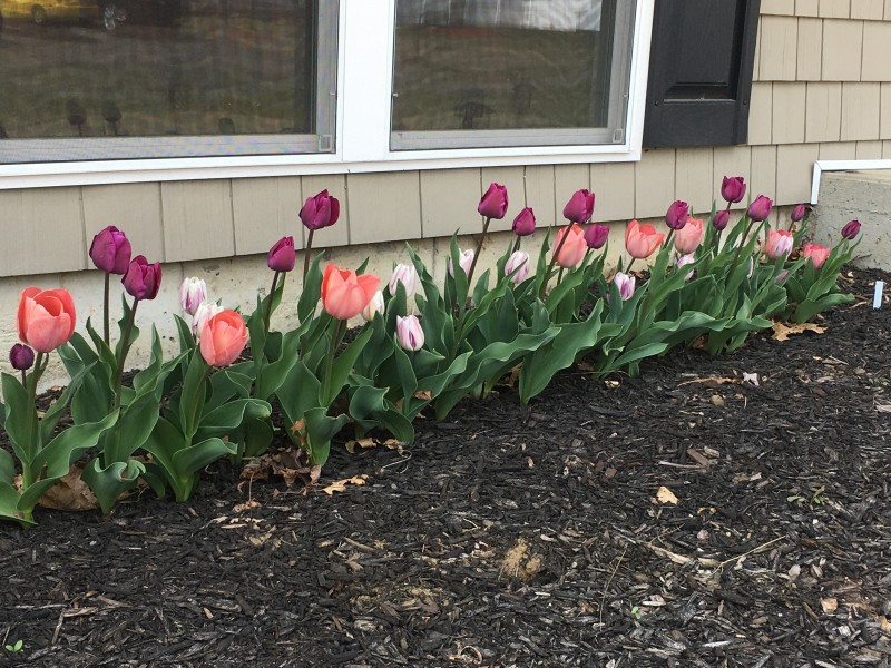 We were delighted that the tulips we planted came up last spring! We have planted MANY more flowers and are eagerly waiting for them bloom.