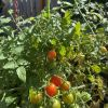 We grow our own cherry tomatoes.
