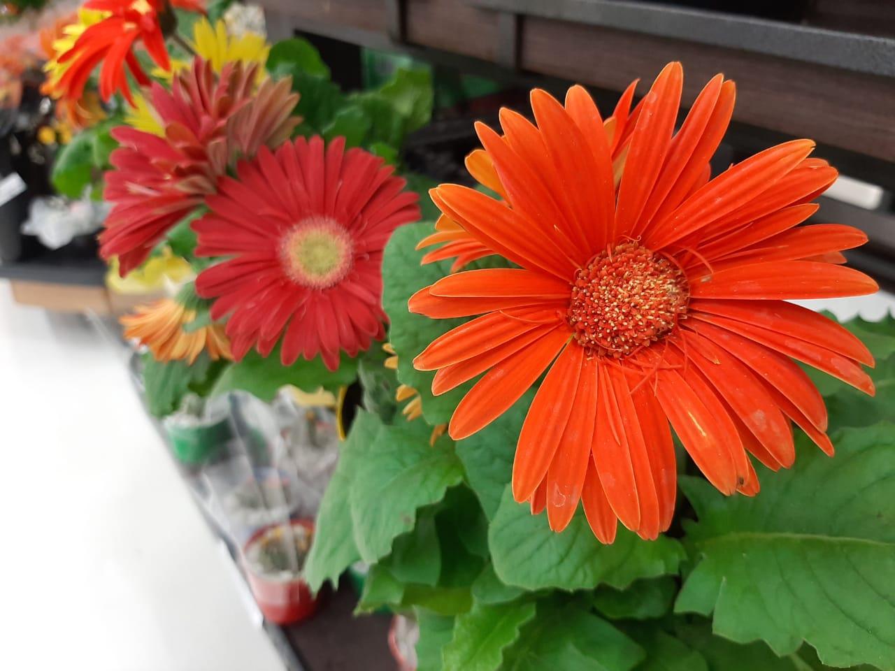 Dia das Flores: saiba onde encontrar, como cultivar e seus benefícios