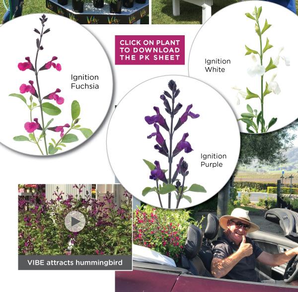 PlantHaven Hot Selection - Salvia VIBE