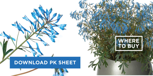 PlantHaven Hot Selection - Fall in Love with Corydalis 'Porcelain Blue'