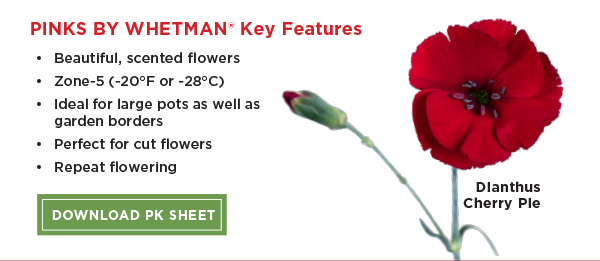 PlantHaven Hot Selection - Dianthus PINKS BY WHETMAN