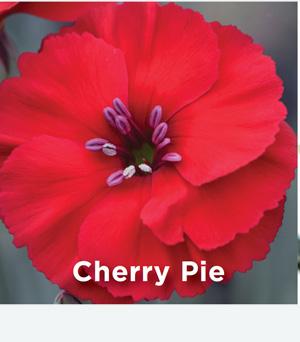 Dianthus AMERICAN PIE Cherry Pie