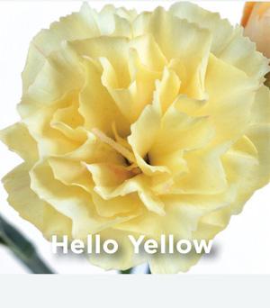 Dianthus Hello Yellow