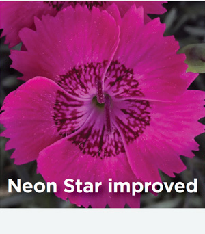Dianthus Neon Star Improved