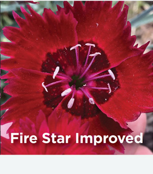 Dianthus Fire Star Improved