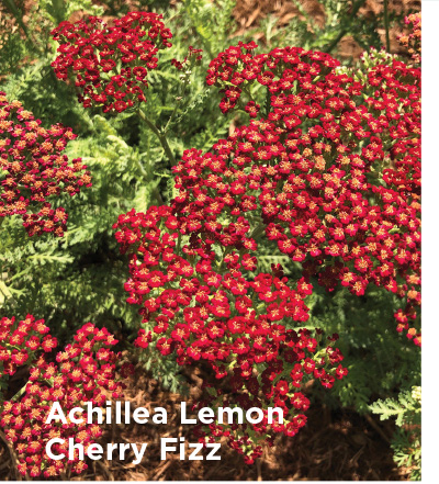 Achillea Lemon Cherry Fizz