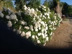 Front Fence Roses