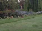 Lake: Geese and Goslings