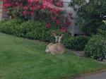 Deer Near Oakmont home