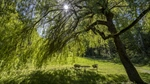Romantic willow tree