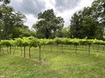 Well-Maintained Vineyards