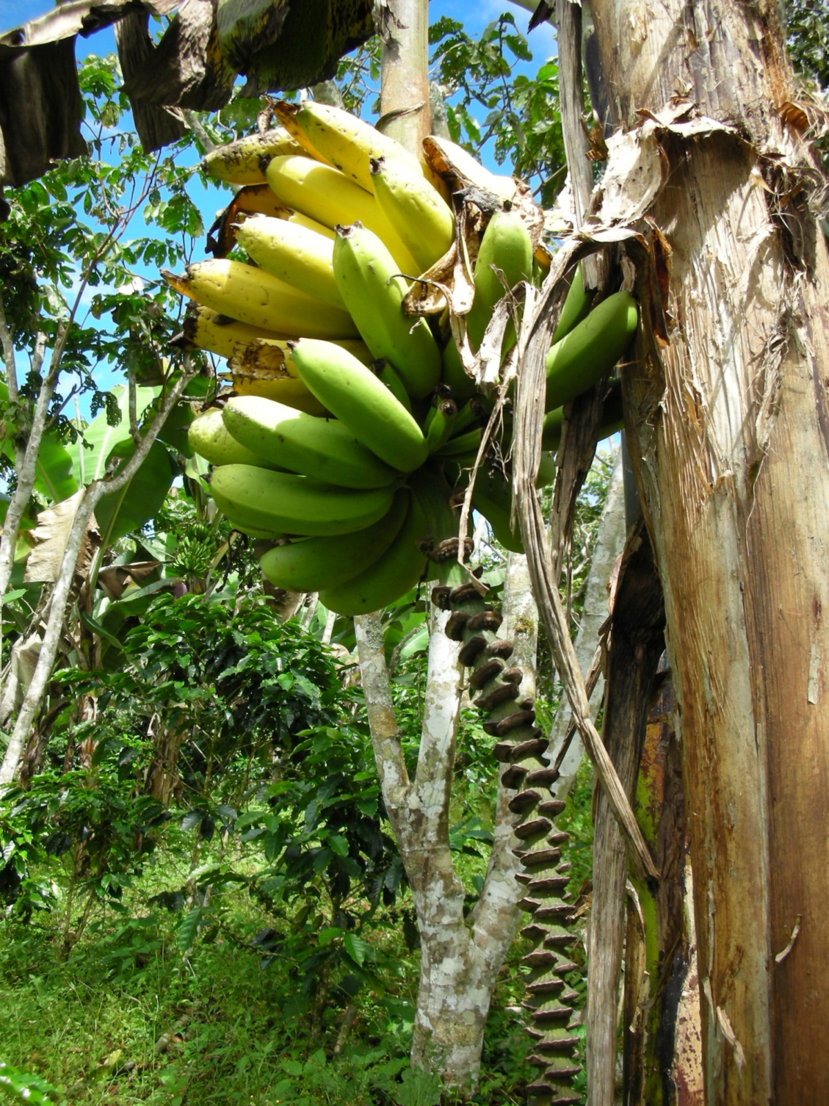 The U.S. consumes more bananas than any other fruit.