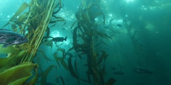 Surfing Over Kelp Forests at Cove Beach