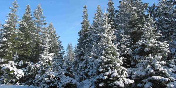 The History of the Christmas Tree Farm and Where to Find the Perfect Tree