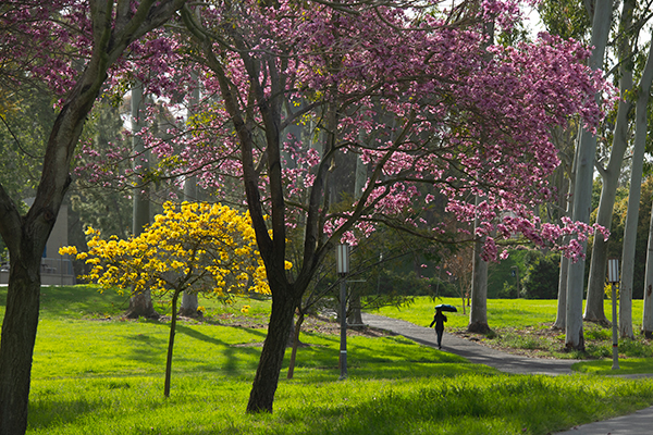 Springtime brings blooms from the trees in Aldrich Park. Steve Zylius/UCI, Campus scenes in the time of COVID