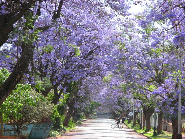 人間花境 普勒托利亞的藍花楹世界 普勒托利亞、南非、藍花楹 生活發現 妞新聞 Niusnews