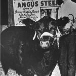 Winning Angus Steer. Year: 1955