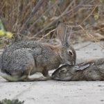 Bunny Love by Joe Chandler
