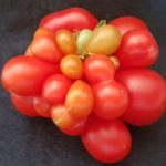 Attack of the Killer Tomato by Bill Maloney