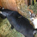 This Alfalfa Makes Our Horns Grow by Danika and Piper Prijatel