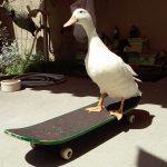 Skateboarding Duck by Luke Goldade