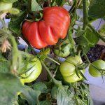 Our Tomato Plant by Reese Ramirez