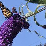 Butterfly on a Buddleja Flower by Julia Woodward