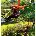 DC Mutant Peacock Carrot by the 2019-2020 Del Cerro Elementary School Green Team