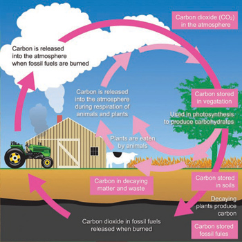 Cattle carbon footprint