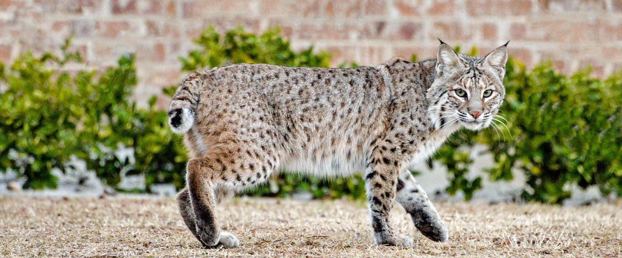 Bobcat Texas
