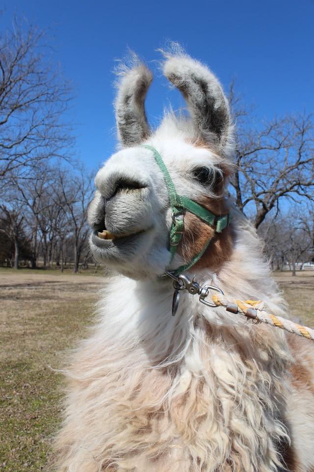 ShangriLlama llamas llama walk, parker, plano, texas, bob woodruff park