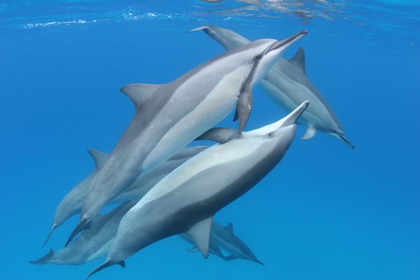 Kona Dolphin Swim Experience