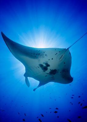Big Island of Hawaii Manta Ray Snorkel image 1