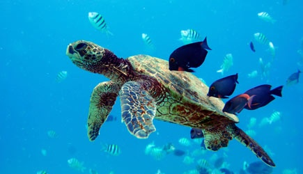 Hilton Turtle Snorkel Sail