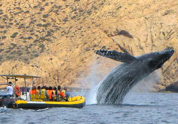 Whale Watching Speed Boat