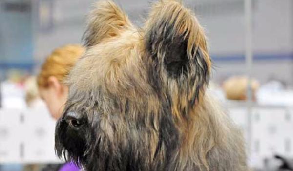 Top 20 Strangest Dog Breeds - Briard