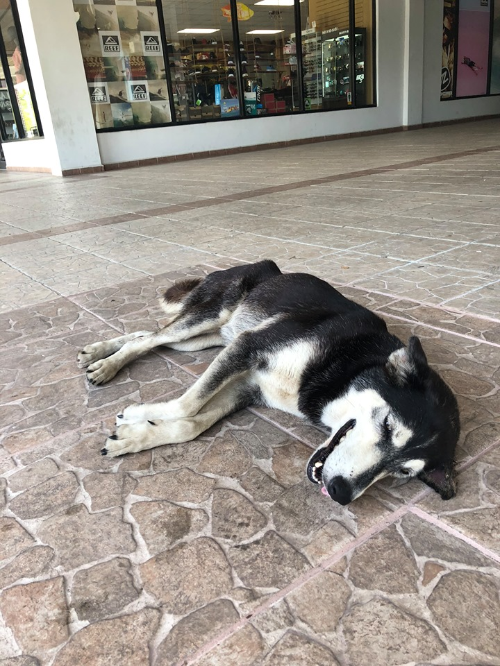 Emaciated Husky Finds Her Forever Home