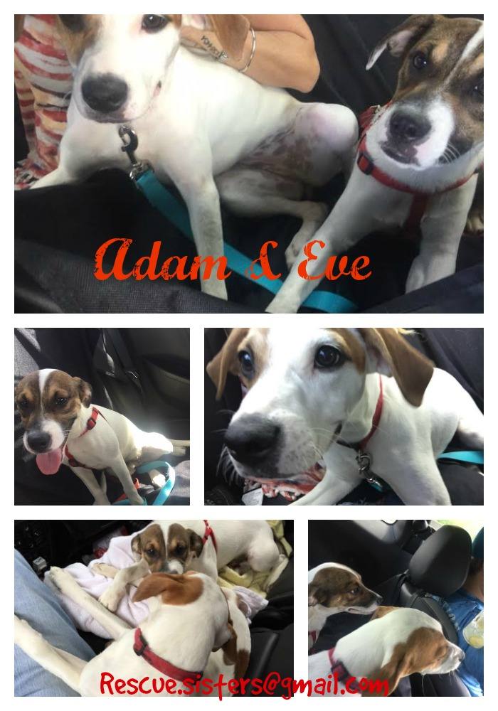 Adam & Eve brother and sister adorable Jack Russell Terriers