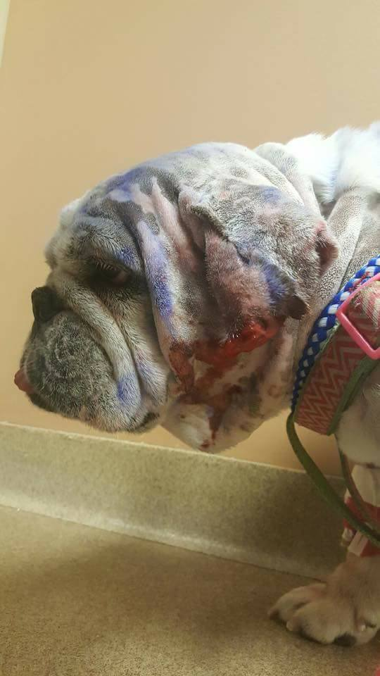 Ellie sick with infection and covered in wounds