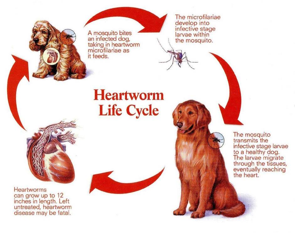 Doug's heartworm treatment