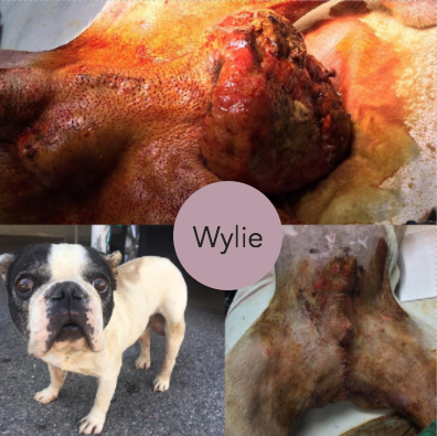 Please Help Boss Swagger's Pneumonia and Bulldog Rescues!