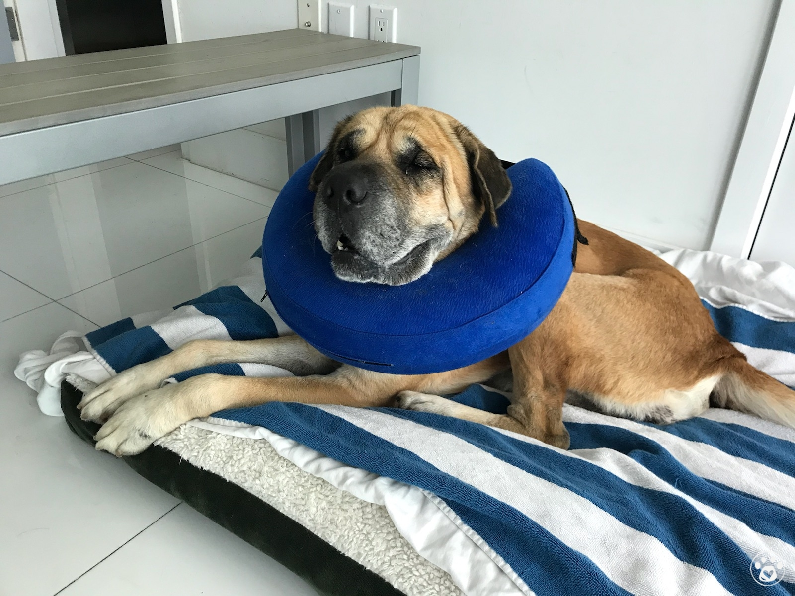 Duke The Senior needs surgeries