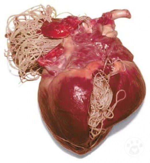 HEART WORM POSITIVE--NEEDS TREATMENT