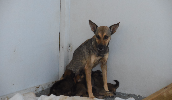 Loba and her eight puppies need help - The Guanica Animal Rescue Project