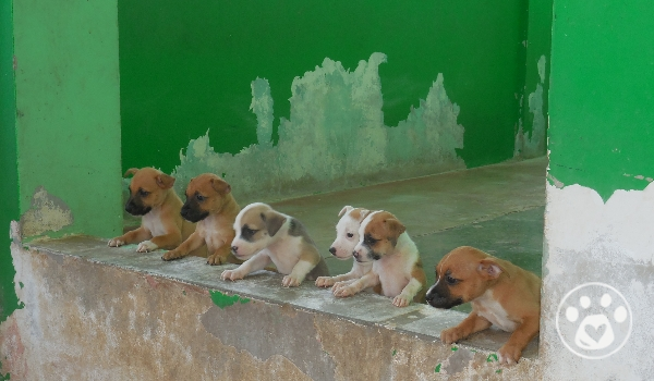 Urgent Dogs In Need - Rescued Manchi and puppies need help!