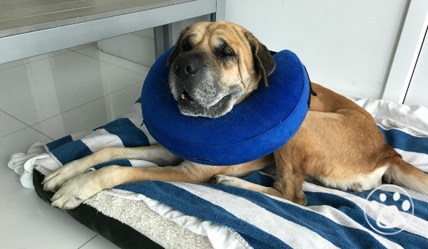 Duke The Senior needs surgeries