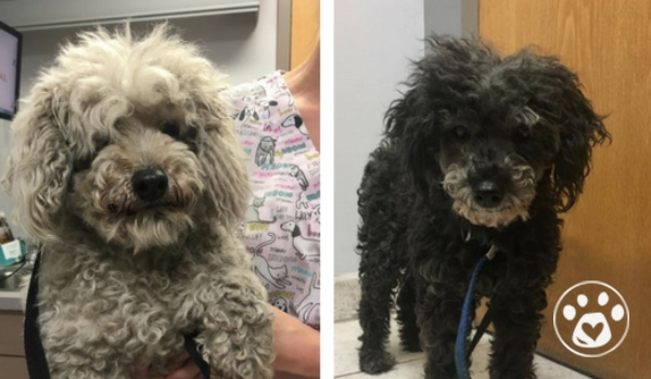 3 breeder poodles (& kittens) need care ASAP!