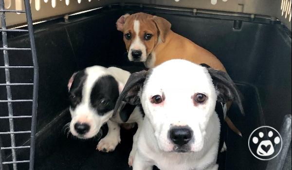 Maria & her Puppies Zeus, Marlo and Mila